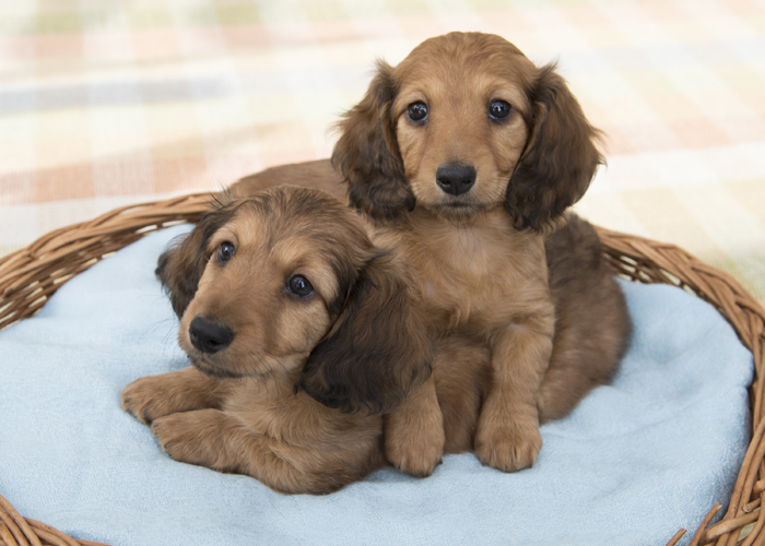 Miniature Long Haired Dachshunds from Dikerdachs Kennels - Dikerdachs