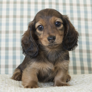 Miniature Long Haired Dachshunds From Rdachs Kennels