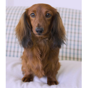 Miniature Long Haired Dachshund Puppies For Sale Dikerdachs
