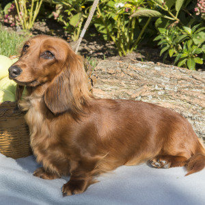 Speaking, would Adult dachshunds groundhounds mini not our sale